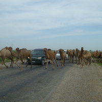 Camels crossing the road that leads to Turkestan, the architectural complex devoted to the 12th century poet Ahmed Yasawi.