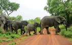 A rainstorm closed Mole National Park when the Ghana fellows visited to take a safari ride. Just as they were turning back to the lodge, a procession of elephants crossed their path. Photo by Elisabeth Wolfenden '13.