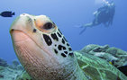 A USC Dornsife student on a scientific dive in Guam with a Hawksbill sea turtle in the foreground during a past Maymester trip. Photo by Gerry Smith.