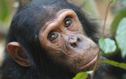 "Great Apes such as chimpanzees share remarkable similarities with humans. Their complex patterns of communication are one example. ""These skills underscore the importance of conserving this endangered species before it is too late,"" says USC Dornsife Ph.D. student Maureen McCarthy. Photo by Craig Stanford."