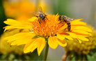 The altruistic behavior of bees — social insects completely devoted to the queen and willing to surrender their lives to defend their hive in the face of predators, thereby allowing their species to become the most successful pollinators on the planet — was cited in the short movie <em>A Very Altruistic Christmas</em>, winner of the USC Science Film Competition. Photo by Kevin Frates.