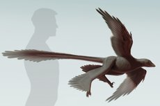 <em>Changyuraptor yangi</em> is considered the biggest of the four-winged dinosaurs. Illustration by S. Abramowicz/courtesy of the Dinosaur Institute, Natural History Museum.