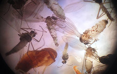 Insects collected in a pan trap during a USC experiment on LED light bulbs. All images courtesy of Travis Longcore.