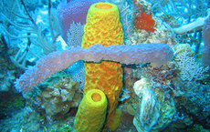 Their dependence on silica likely gave sea sponges an advantage in an age of climate change between the Triassic and Jurassic periods. Photo courtesy of the NOAA Ocean Explorer.