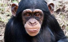 Endangered chimpanzees in Uganda are adapting to life in fragmented forest patches, according to research by Maureen McCarthy, who is pursuing a Ph.D. in integrative and evolutionary biology at USC Dornsife. Photo courtesy of Jenny via Flickr.