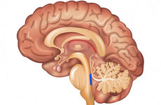Blue indicates the location of the tiny locus coeruleus within the brainstem. Photo from Shutterstock.com.