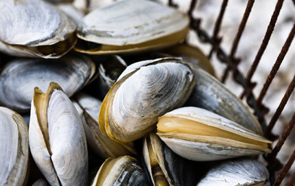 In recent years in southern California, there has been an increase of shellfish including clams pictured here becoming poisoned due to toxin events in the ocean. USC researchers are working on early detection of harmful algal blooms.