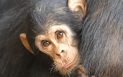 Chimpanzees are found from Western Africa across the continent to East Africa. At one time, there were 50,000 or more chimps in Uganda. Now there are about 5,000 as a result of logging, the encroachment of villages, trapping, snare devices and other reasons. Photo by Craig Stanford.