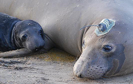 Named Penelope by researchers, this elephant seal is one of many fitted with a GPS tracking tag. These devices can be used to monitor potential climate change indices such as temperature increases. The tags are temporarily attached with glue and do not hurt the seals. ©Nicole Teutschel, courtesy of Tagging of Pacific Predators or TOPP.