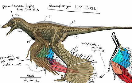 Colored rendering showing feather extent in <em>Microraptor gui</em>. Drawing by David Krentz.