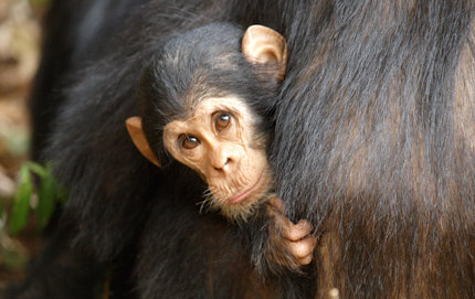 Chimpanzees are found from Western Africa across the continent to East Africa. At one time, there were 50,000 or more chimps in Uganda. Now there are about 5,000 as a result of logging, the encroachment of villages, trapping, snare devices and other reasons. Photo credit Craig Stanford.