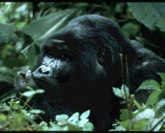 Sympatric Ecology of Chimpanzees and Gorillas > Craig